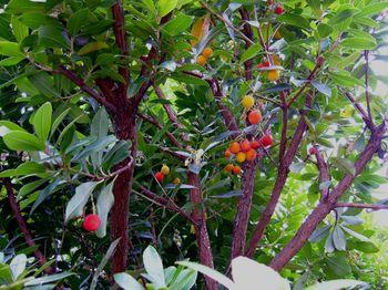 2017.12イチゴの木1.jpg