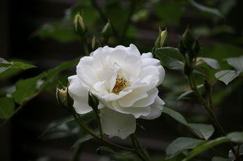 2017.5バラ各種2.jpg
