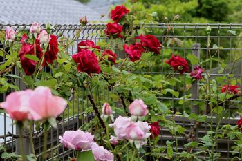 2019.5庭の花18.jpg