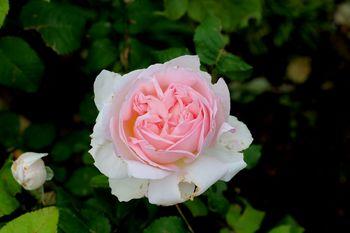 2019.5庭の花19.jpg